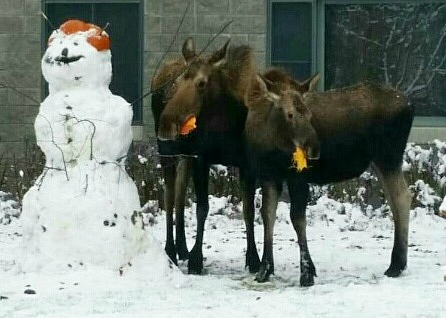 Moose eats pumpkin hat on snowman
