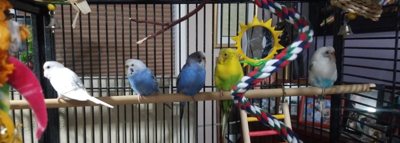 Female parakeets in foster