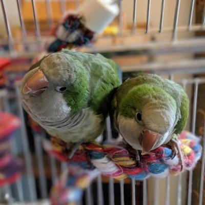 Rory and Shae Quaker parakeets