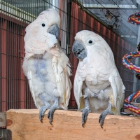 Coconut and Dillon Moluccan cockatoos available for adoption