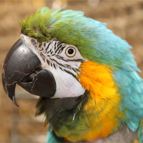 Bertie the blue and gold macaw