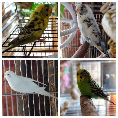 Four adoptable parakeets