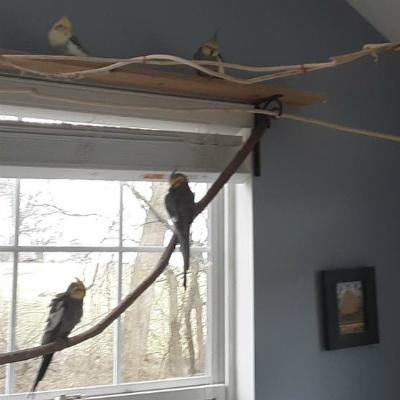 4 male cockatiels