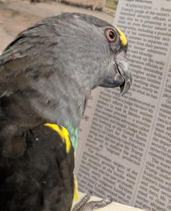 Meyers parrot reading news