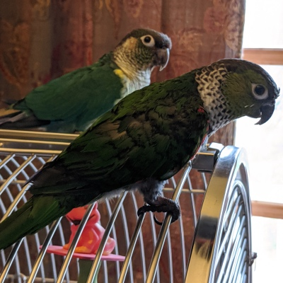 Sonny and Marley are two conures
