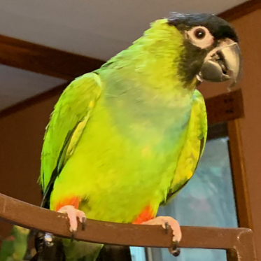 George a nanday conure