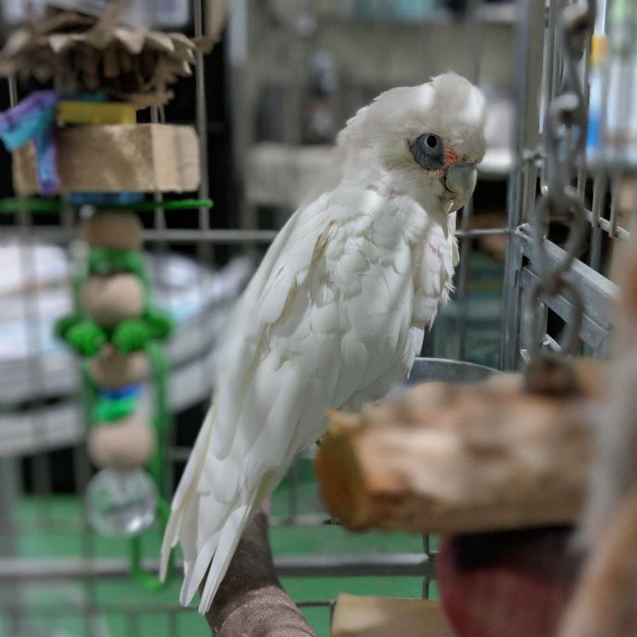 Pippin the bare eyed cockatoo