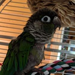 Buddy an adoptable green cheek conure