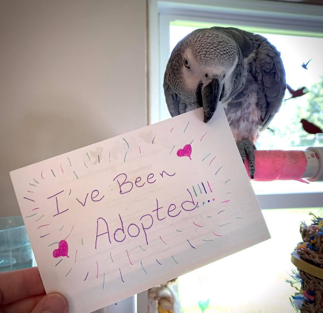 Morris African Grey is adopted