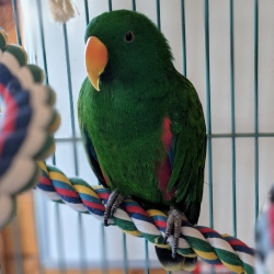 Mango the male eclectus parrot