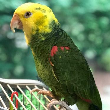 Mama a double yellow headed Amazon parrot