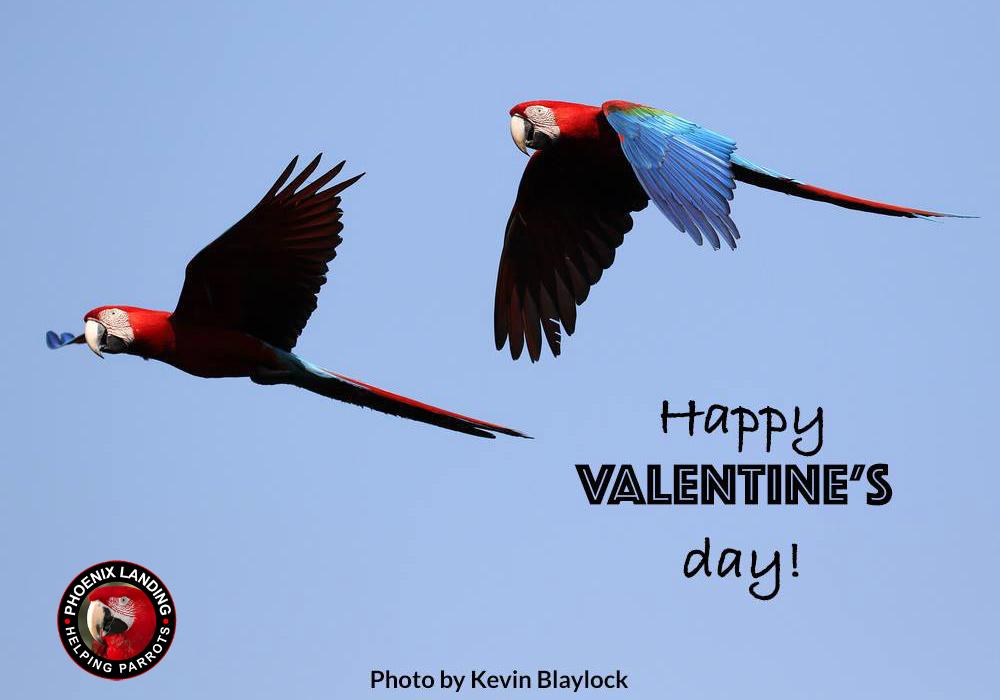 two wild greenwing macaws in flight in Brazil