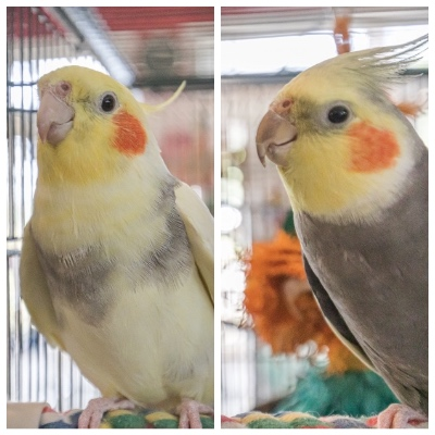 Rocky and Sunshine male cockatiels