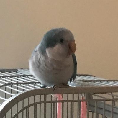 Charlie blue Quaker parrot
