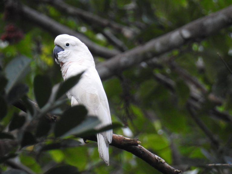 A salmon-crested cockatoo in Indonesia. Photo courtesy of the Indonesian Parrot Project