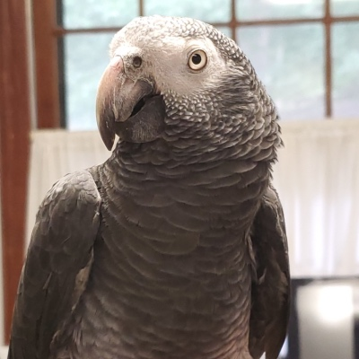 Jocko a Timneh African Grey