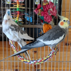 Apollo and Marshall are two cockatiels looking for a home together
