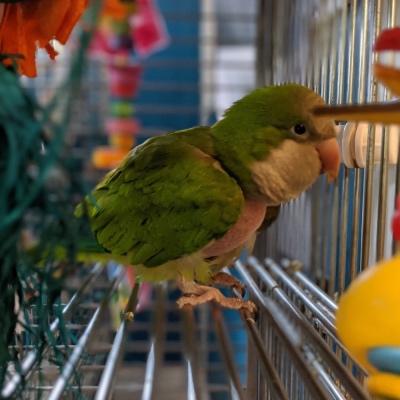 Noah the Quaker parakeet