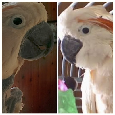 Daisy and Petey Moluccan cockatoos