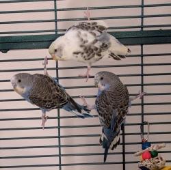 Adoptable splay legged parakeets