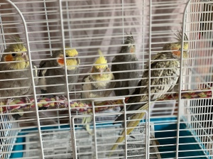 Five cockatiels from shelter