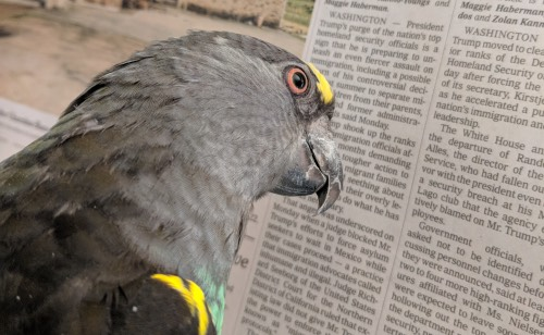 Meyers parrot reading the news