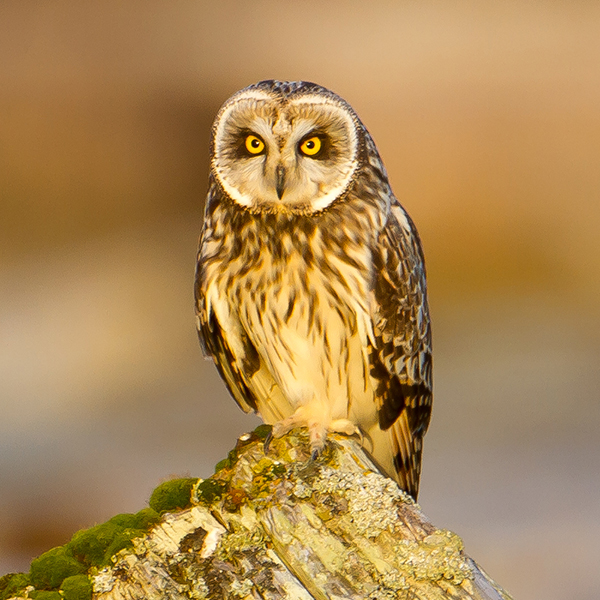 Short-eared Owl, by Mick Thompson
