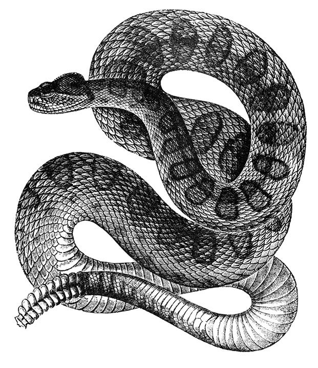 rattle_snake_8295.jpg
