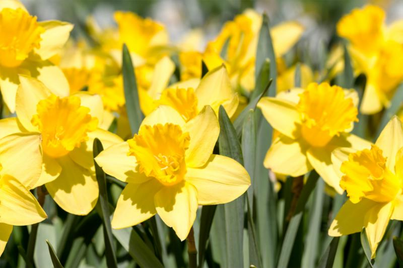 yellow_spring_daffodil.jpg