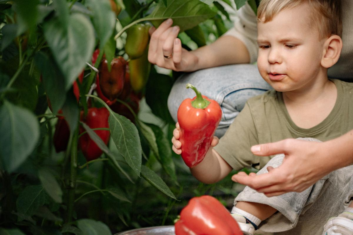 Young child picks a red pepper off a plant
