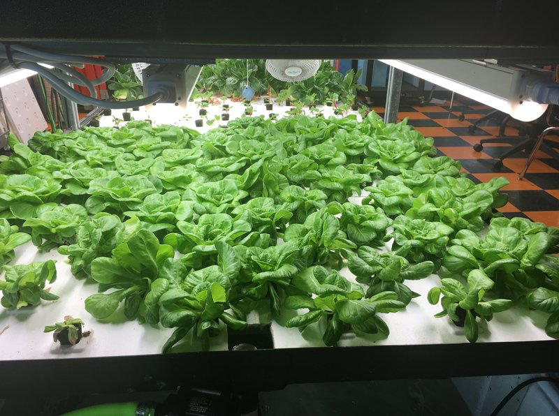 Hydroponic crops growing in a Brooklyn middle school
