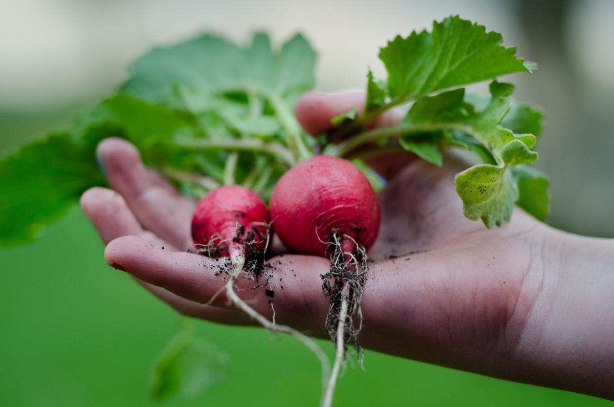 Child holding fresh pick radishes