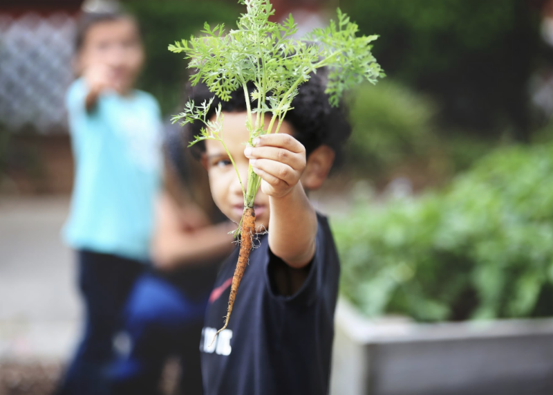 Young boy holds a carrot from a school garden