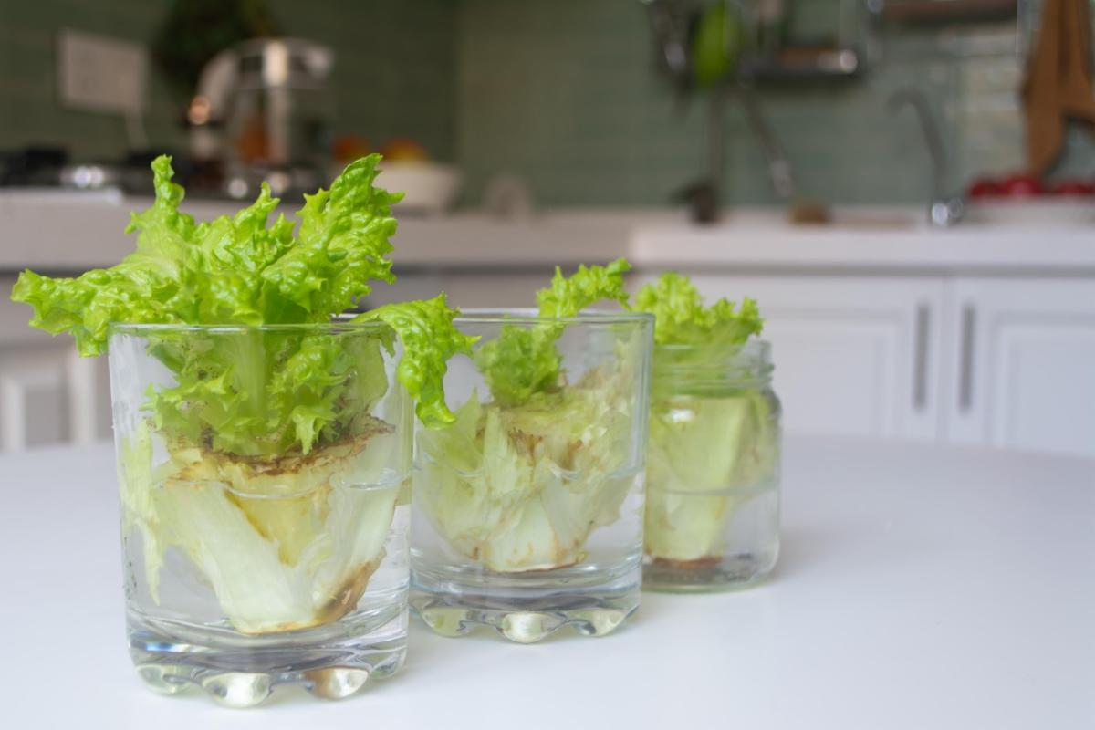 Sprouting lettuce in glasses of water