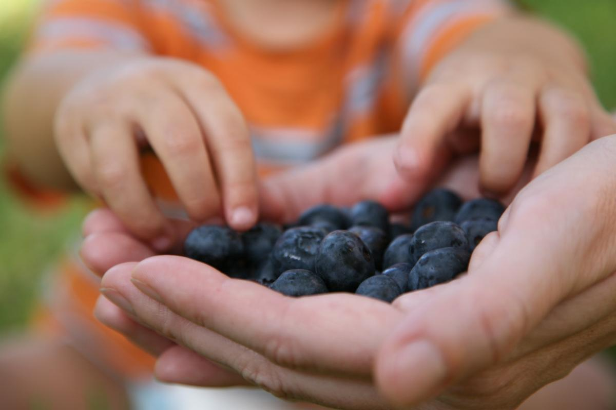 Child's hands reaching for blueberries