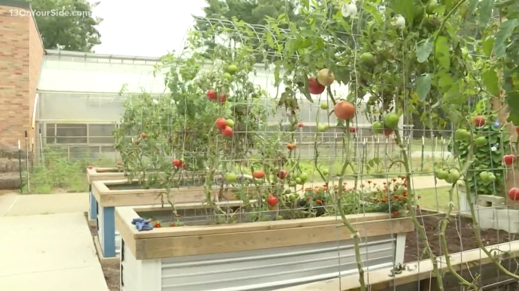 Tomatoes growing in raised beds at Montague High School
