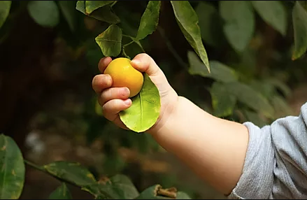 Child picks fruit from a tree