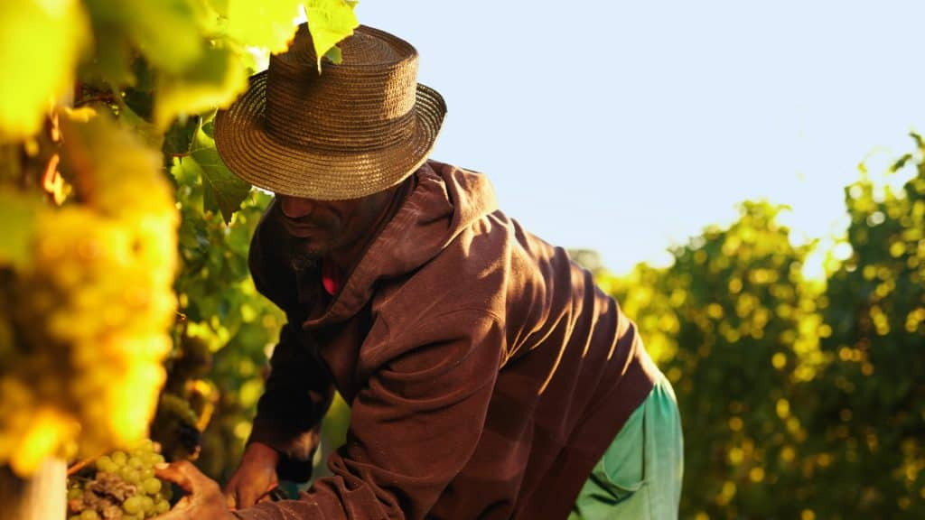 Black farmer harvest grapes in the fading sunlight