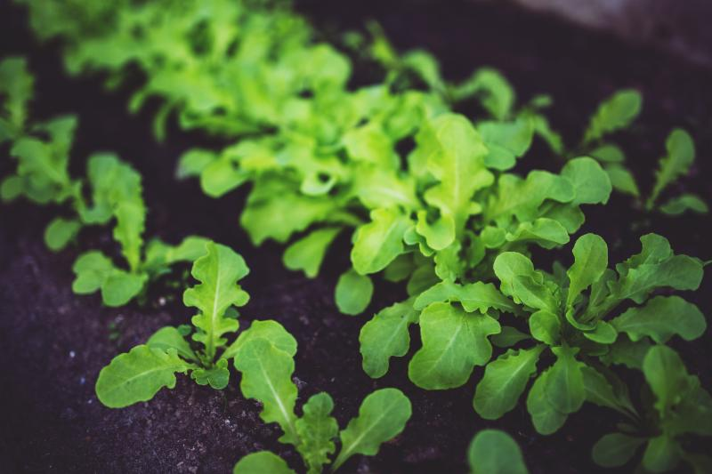 Young lettuce growing in a garden