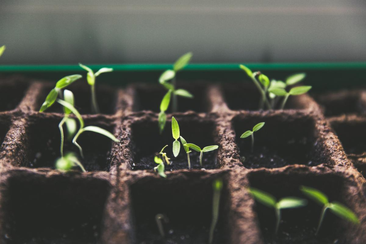 Seeds sprouting in a tray