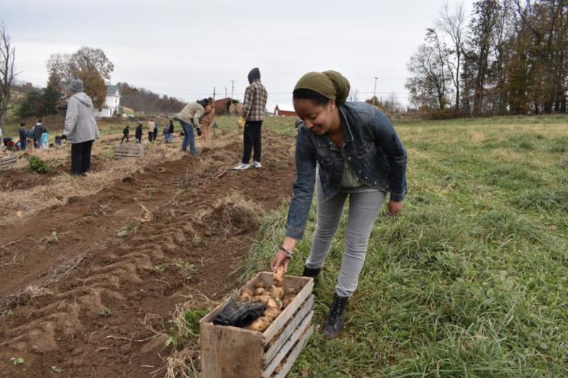 Sumeya Kasse joins students in harvesting potatoes at Olney Friends School