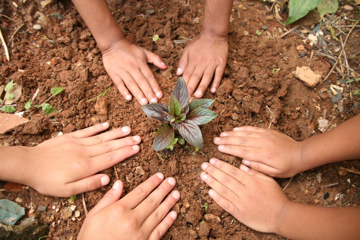 Children's hands patting soil around a transplant