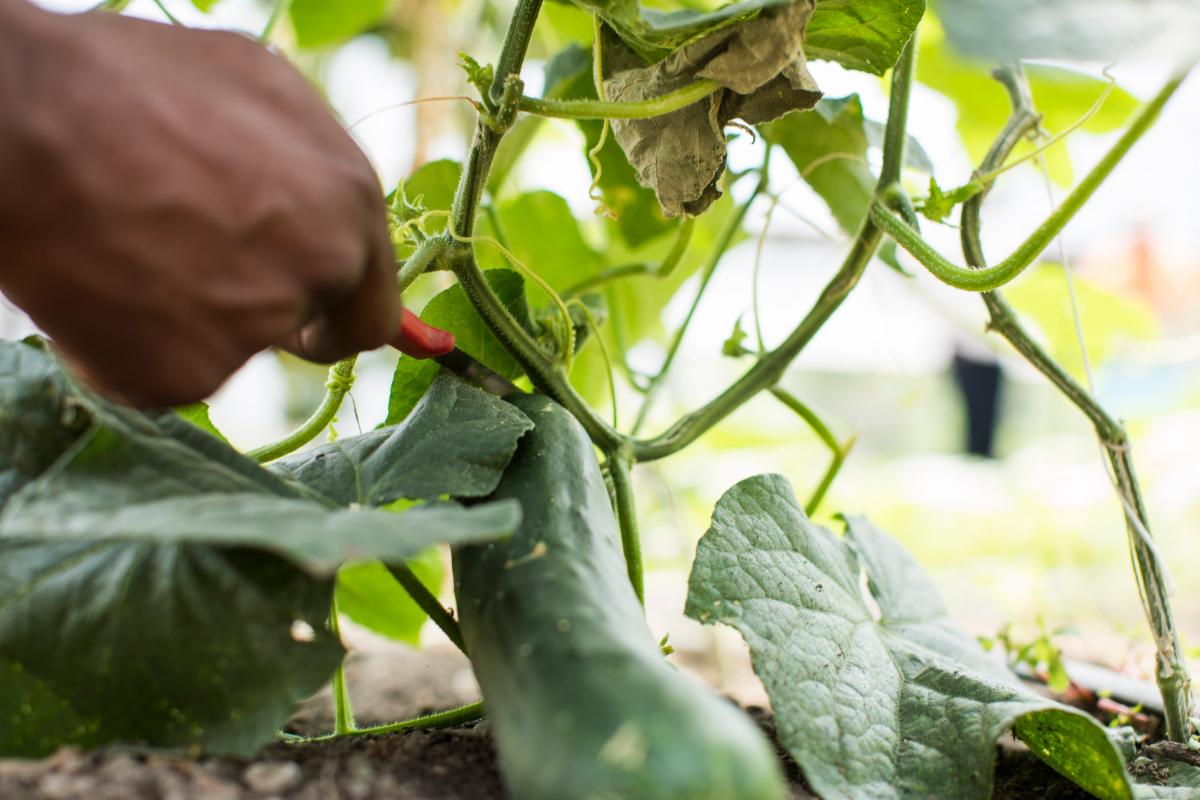 Hand cutting a cucumber off a vine