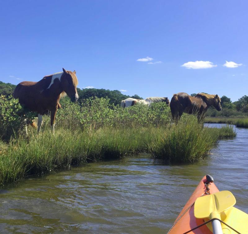 assateague horses and kayak