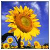 sunflower-sm.jpg
