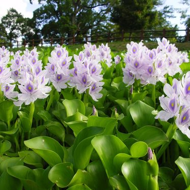 Photo of Water Hyacinth