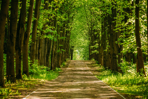 Walkway Lane Path With Green Trees in Forest. Beautiful Alley_ road In Park. Way Through Summer Forest.