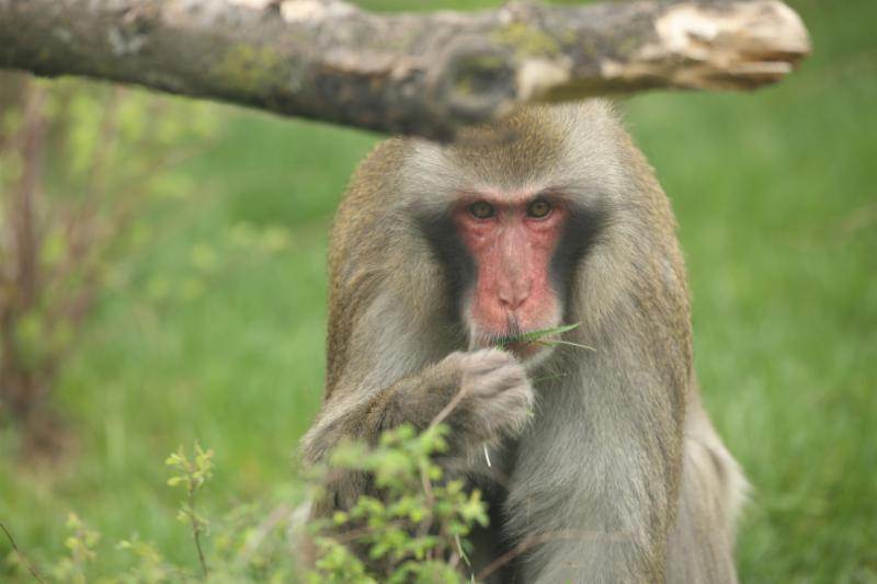 Macaque in the zoo habitat