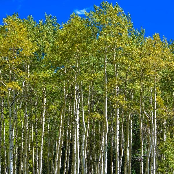 Autumn Aspen Trees Background Pattern Colorado Fall Foliage