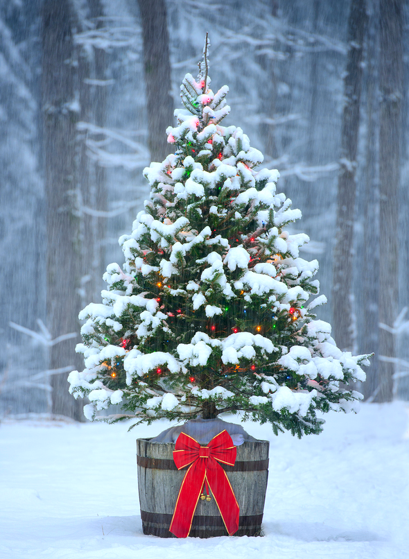 A snow covered natural spruce Christmas tree with illuminated colorful lights sits in an old aged wine barrel pot outside in a snowy forest during the winter season.